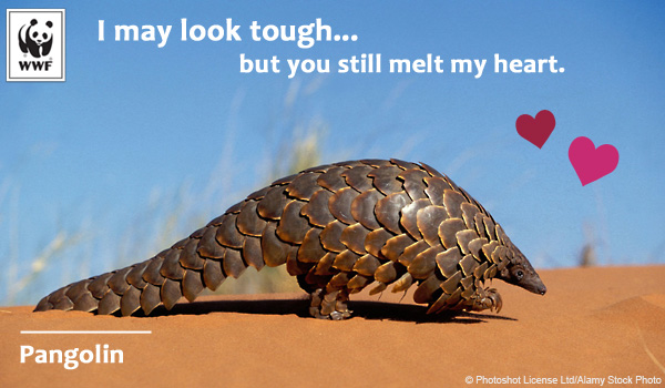 Raising Awareness – Pangolin Love for Valentine'sDay
