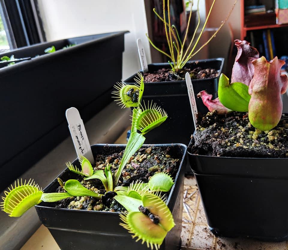 Buying Carnivorous Plants inNYC